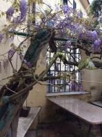 Glicini in fiore in Via dell'Ambrogiana