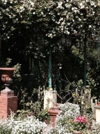 Fioritura della rosa banxia