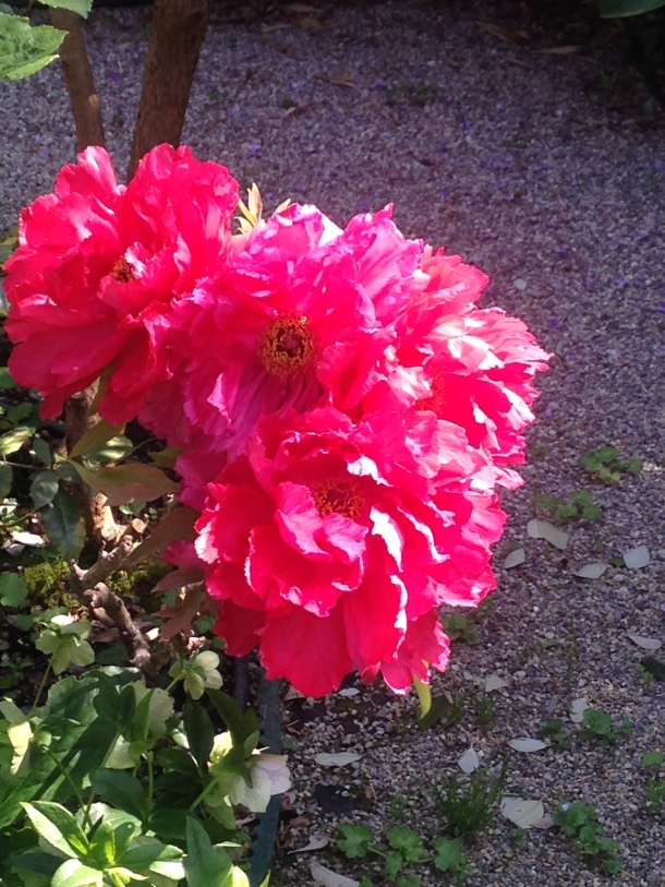 fioritura di peonie