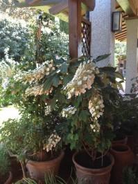Ortensia quercifolia della Signora Cristina
