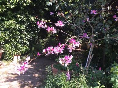 bauhinia l albero delle orchidee
