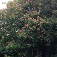 Ippocastano rosa centenario di via dell'Ambrogiana