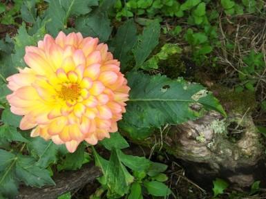 Tempo di dalie in giardino