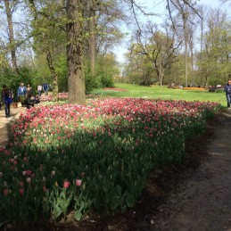 tulipano (10)